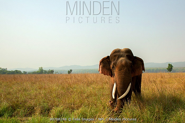 Asian elephant (Elephas maximus) in grassland, Jim Corbett National Park, Uttarakhand, India.