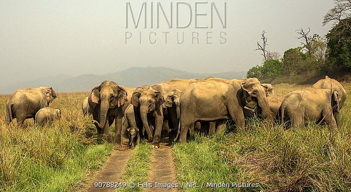 Asian elephants (Elephas maximus) herd crossing trail, Uttarakhand, India.
