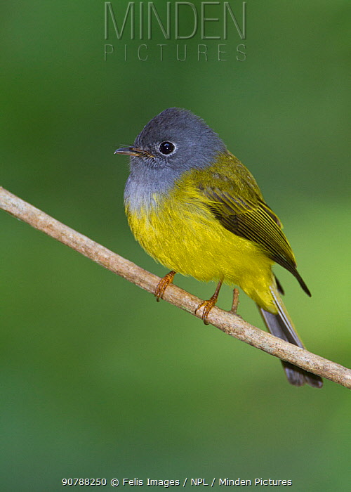 Grey-headed canary flycatcher (Culicicapa ceylonensis) perched on a branch, Tamil Nadu, Western Ghats, India.