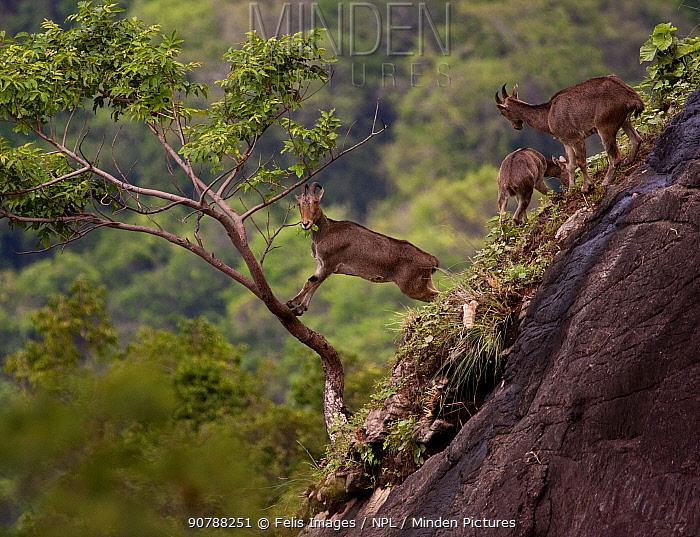Nilgiri tahr (Nilgiritragus hylocrius) feeding on a rocky hillside, Valparai, Tamil Nadu, India.