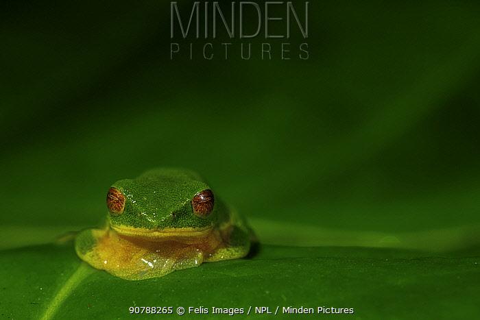 White-sided bush frog (Raorchestes jayarami) sitting, front view. Valparai, Tamil Nadu, India.