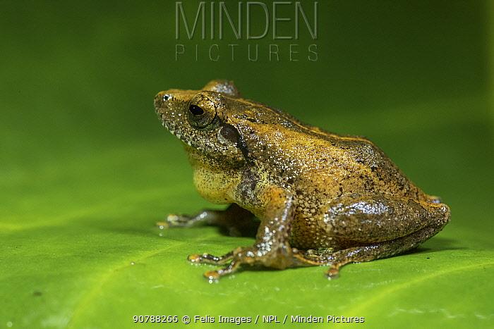 Himalayan tree frog (Polypedates maculatus), sitting on leaf, profile, Valparai, Tamil Nadu, India.