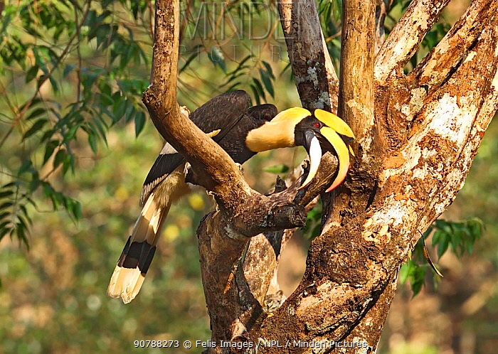 Great Indian hornbill (Buceros bicornis) perched on a branch, tearing up dead branch to look for insects, Tamil Nadu, India.