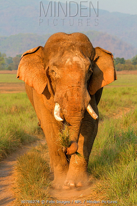 Asian elephant (Elephas maximus) walking, Jim Corbett National Park, Uttarakhand, India.