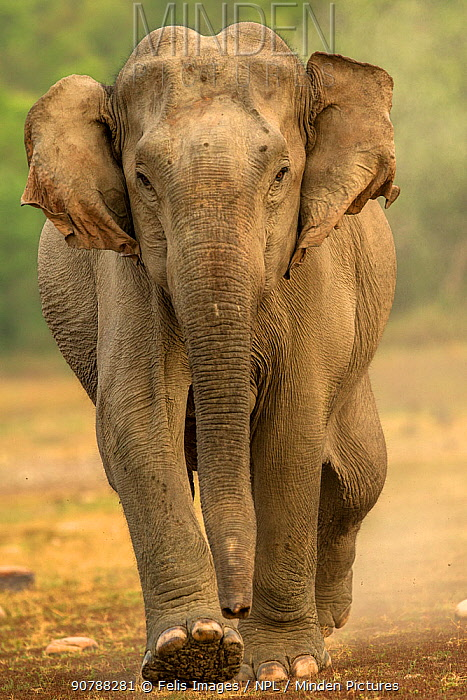 Asian elephant (Elephas maximus) walking, Jim Corbett National Park,Uttarakhand, India.