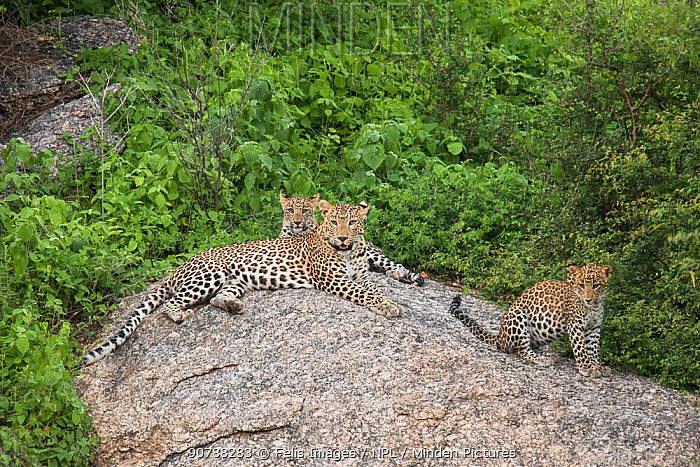 Leopard (Panthera pardus) female and cubs sitting on rocks, Rajasthan, India.