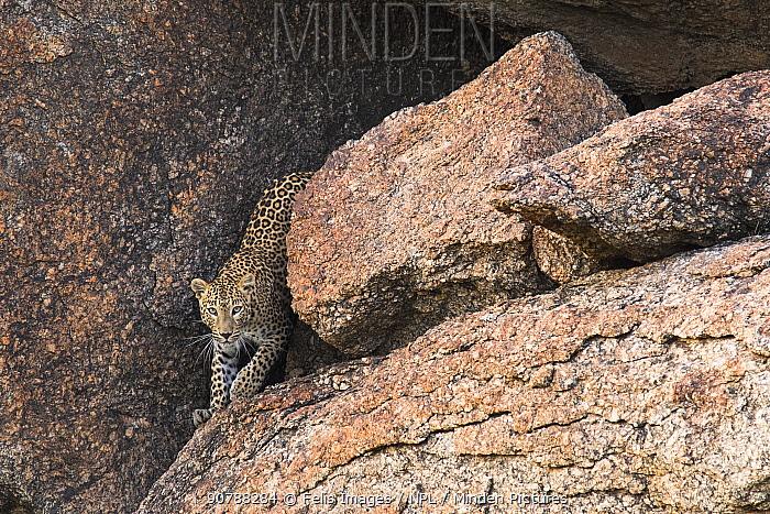 Leopard (Panthera pardus) exiting cave. Rajasthan, India.