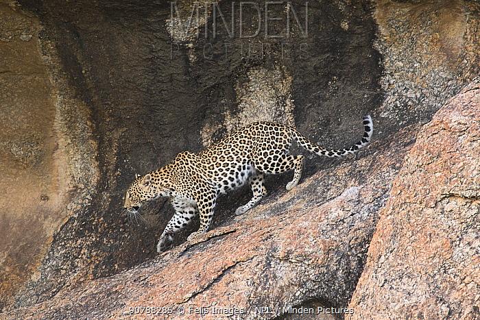 Leopard (Panthera pardus) walking on rocks, Rajasthan, India.