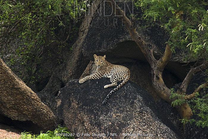 Leopard (Panthera pardus) sitting on rock, Rajasthan, India.