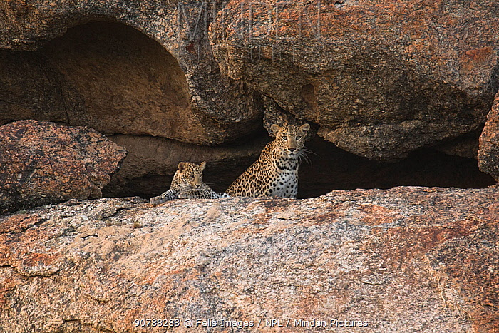 Leopard mother and cub (Panthera pardus) female and cub in cave. Rajasthan, India.