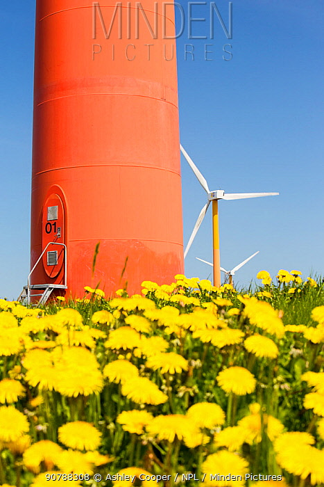 Colourful wind turbines in polders, with dandelions (Taraxacum) poldersreclaimed land near Almere, Flevoland, Netherlands. May 2013