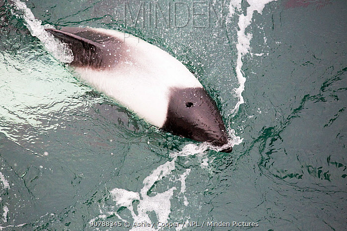 Commerson's Dolphin (Cephalorhynchus commersonii) swimming round a ship off the Falkland Islands. February 2014