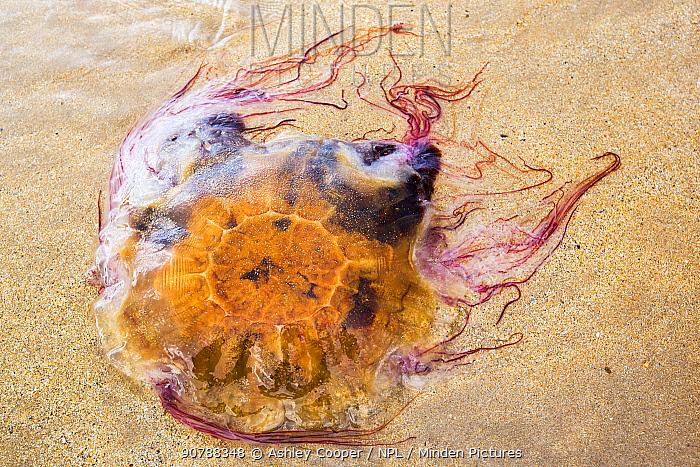 Lions mane jellyfish (Cyanea capillata) washed ashore on a Northumberland Beach, England, UK. July 2014
