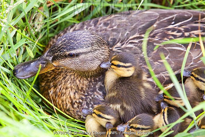 Mallard duck (Anas platyrhynchos) female with her newly hatched chicks on Walney Island, Cumbria, UK. July.