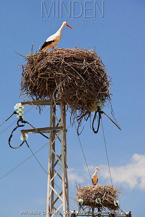 White Storks (Ciconia ciconia) nesting on electricity pylons in the Coto Donana in Andalucia, Spain. June 2011