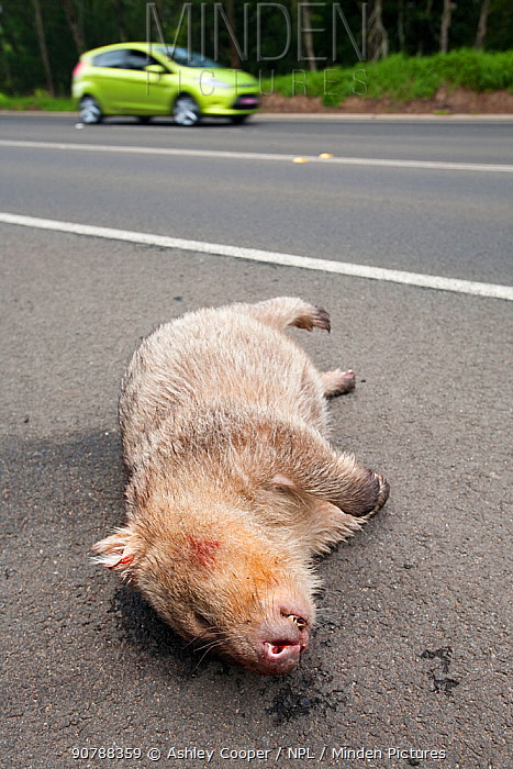 Wombat (Vombatus ursinus) killed on a road in New South Wales, Australia. February 2010