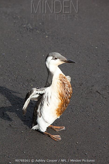 Guillemot (Uria aalge) covered in oil on a black sand volcanic beach at Vik, on Iceland. September 2010.