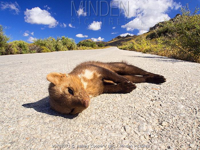Beech marten, (Martes foina) killed on a road on Lesvos, Greece. June.