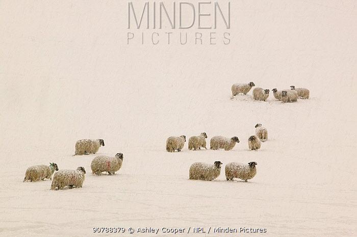 Sheep stuck in heavy snow near Ambleside, England, UK. March 2006