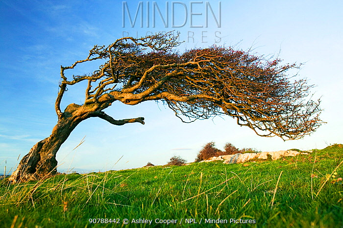 Hawthorn tree (Crataegus monogyna) bent over by the prevailing wind on Humphrey Head Point above Morecambe Bay near Grange over Sands, England, UK. November 2006