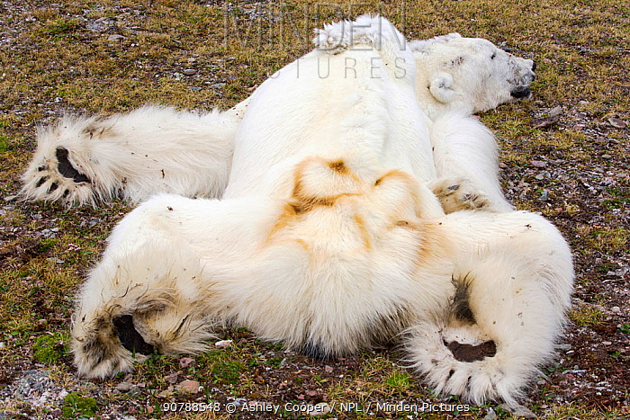 Polar bear (Ursus maritimus) starved to death as a consequence of climate change. Svalbard, Norway, July 2013