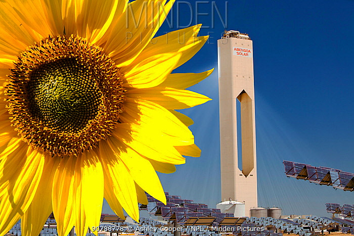 Sunflower next to the PS20 solar thermal tower, the only such working solar tower currently in the world. Sanlucar La Mayor, Andalucia, Spain. May 2011