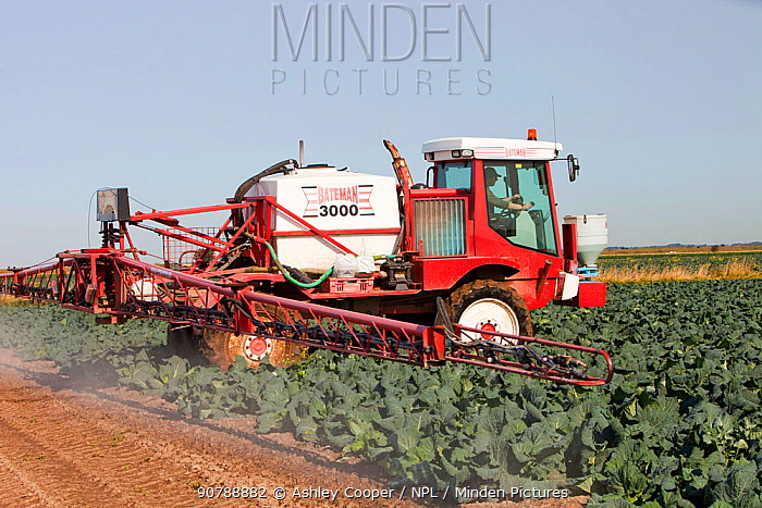 Farmer spraying his cabbages with pesticide, Banks, Southport, UK. September 2011