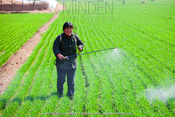 Woman, wearing no protection, spraying pesticide onto wheat crop near Hangang in northern China. March 2009