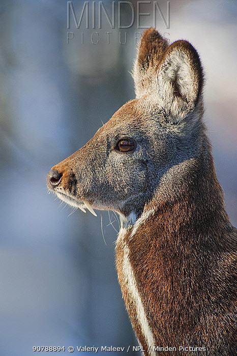 Siberian musk deer (Moschus moschiferus) male, Irkutsk, Russia. March.