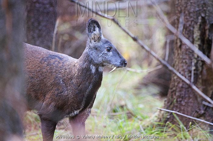 Siberian musk deer (Moschus moschiferus) male, Irkutsk, Russia. October.