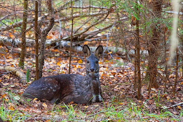 Siberian musk deer (Moschus moschiferus) female resting, Irkutsk, Russia. October.