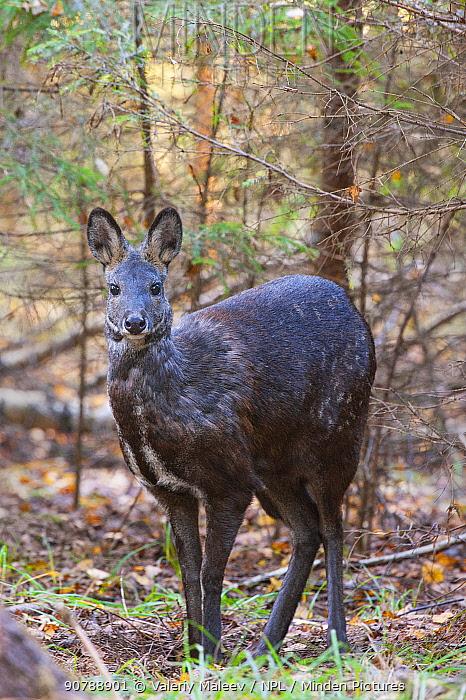 Siberian musk deer (Moschus moschiferus) female, in woodland, Irkutsk, Russia.