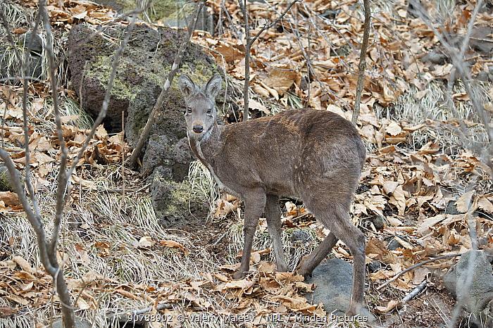 Siberian musk deer (Moschus moschiferus) female in woodland,  Irkutsk, Russia.