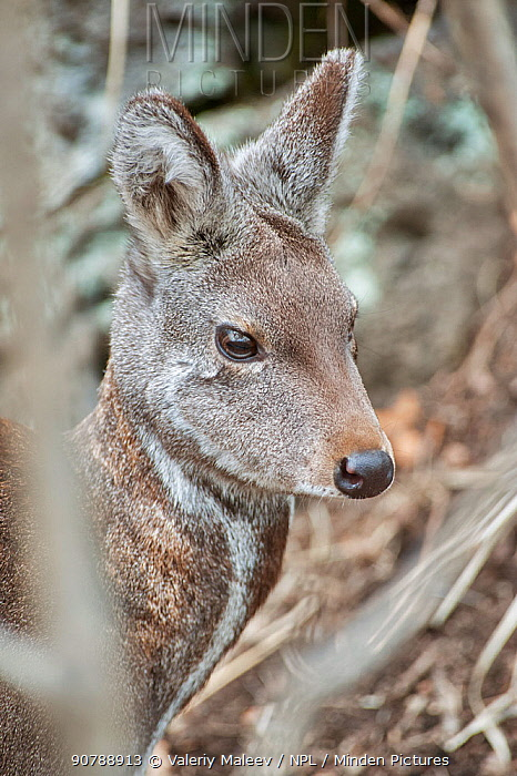 Siberian musk deer (Moschus moschiferus) female, Irkutsk, Russia. Febuary.