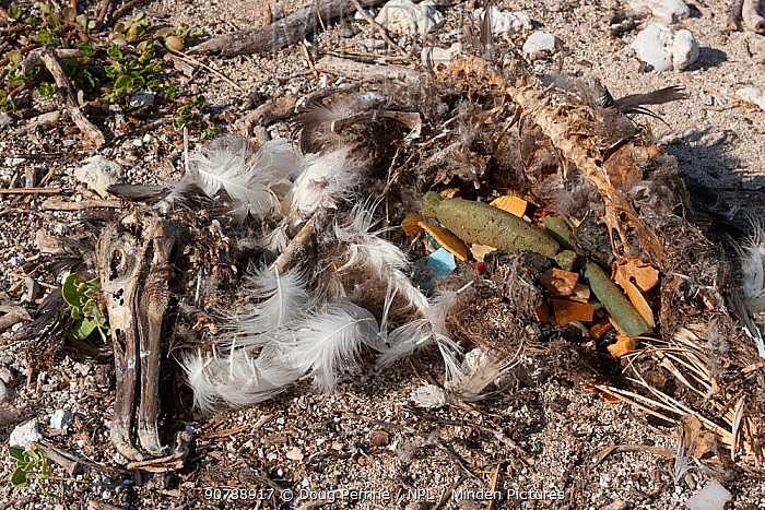 Carcass of Laysan albatross (Phoebastria immutabilis) chick showing  gut full of man-made plastic and foam items. It probably  starved after eating regurgitated plastic from its parents,which blocked  the digestive passage, Tern Island, French Frigate Shoals, Papahanaumokuakea Marine National Monument, Hawaii.