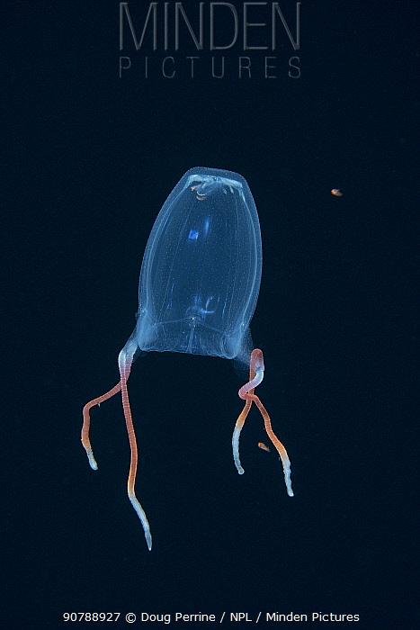 Box jellyfish (Alatina alata) at night in surface waters of deep ocean off Kailua Kona, Hawaii, USA.