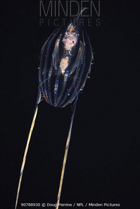 Comb jelly / sea gooseberry (Hormiphora palmata) diffracting  light through cilia (fine hair-like structures) on the comb rows, Kailua Kona, Hawaii, USA.