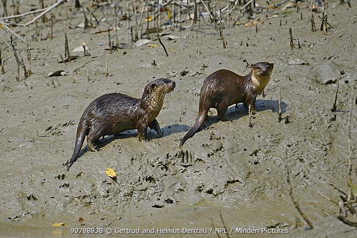 Small-clawed otter (Aonyx cinerea) two on riverbank, Sundarbans East Wildlife Sanctuary, Bangladesh