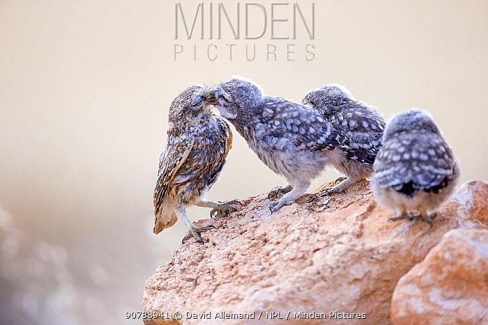Little owl (Athene noctua) parent feeding one of three chicks, Saragossa, Spain, July.