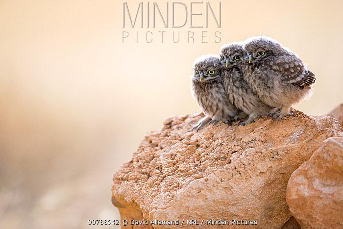 Little owl (Athene noctua) three chicks, Saragossa, Spain, July.