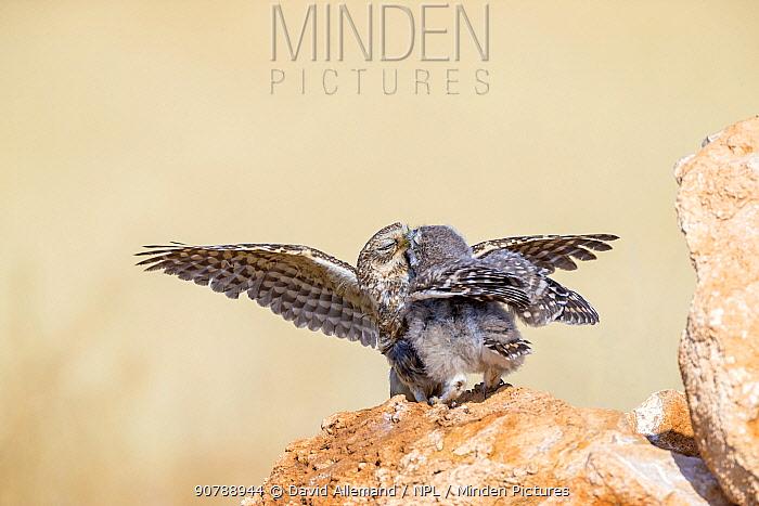 Little owl (Athene noctua) parent feeding chick, Saragossa, Spain