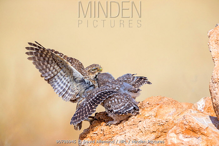 Little owl (Athene noctua) feeding of a chick by an adult, Saragossa, Spain