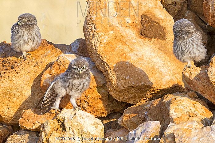Little owl (Athene noctua) three chicks waiting for parents. Saragossa, Spain, July.