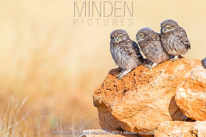 Little owl (Athene noctua) 3 young owls waiting for feeding, Saragossa, Spain, July.