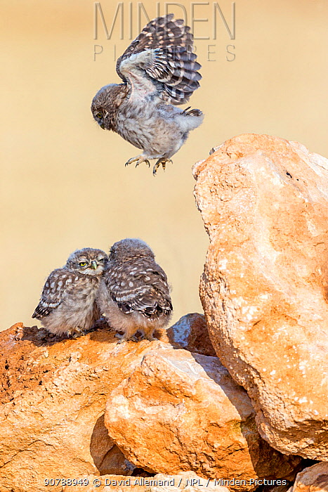 Little owl (Athene noctua) chicks playing, one juming and exercising wings, Saragossa, Spain, July.