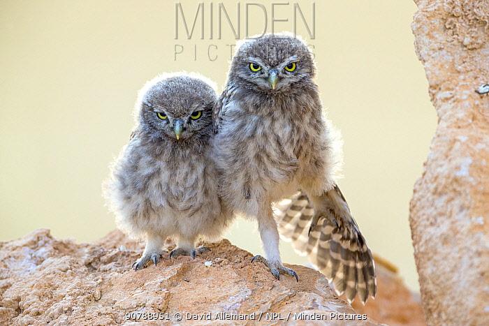 Little owl (Athene noctua) chicks waiting for parents, Saragossa, Spain