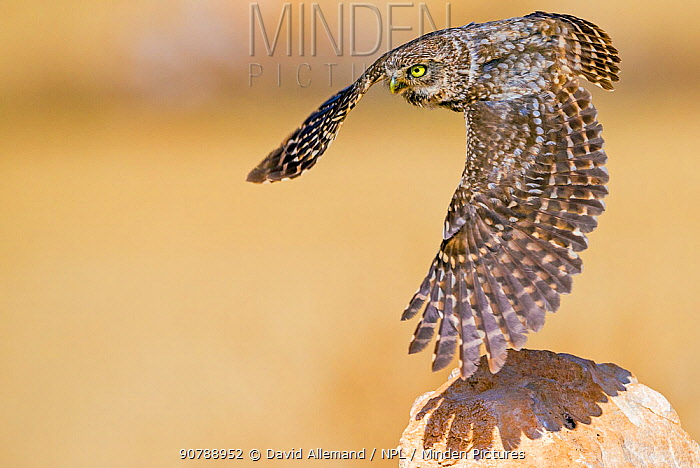 Little owl (Athene noctua) flying, Saragossa, Spain, July.