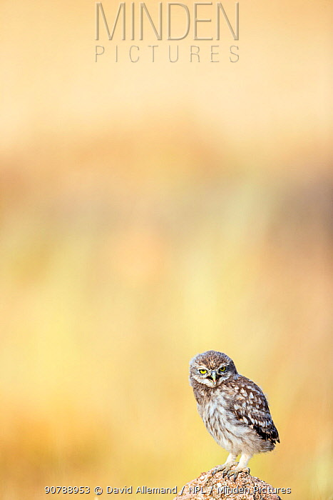 Little owl (Athene noctua) young owl calling parents for food, Saragossa, Spain.