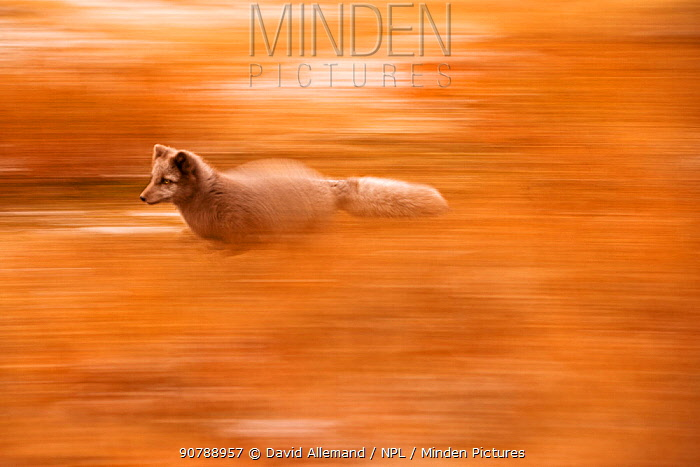 Arctic fox (Alopex lagopus) running in autumn landscape, Iceland. October.