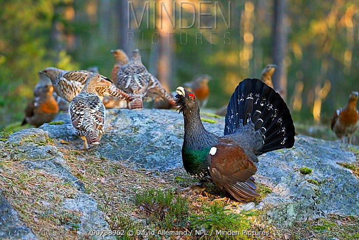 Western capercaillie (Tetrao urogallus) male calling during lek, Kristian Sand, Norway, April.
